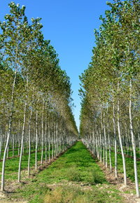Poplar tree farm