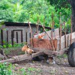 chickens climbing on old farm wagon